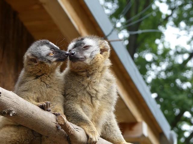 Rotstirnmaki, Zoo Magdeburg