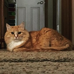 Someone else's pretty baby. #Leonidas #catsofinstagram #feline #prettykitty