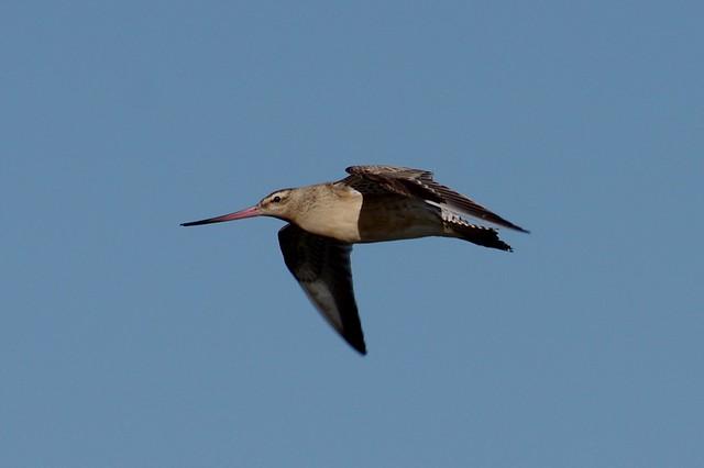 IMGP5359 Bar-tailed Godwit, Cley Marsh, September 2016