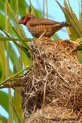 Weaver Bird's Nest, Senga Bay, Malawi