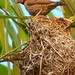 Weaver Bird's Nest, Senga Bay, Malawi