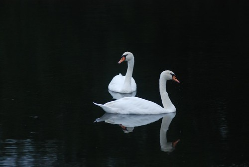 White Swans, Black Water by Get The Flick