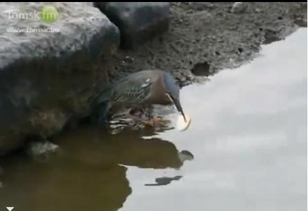 Цапля ловит рыбу на корочку хлеба