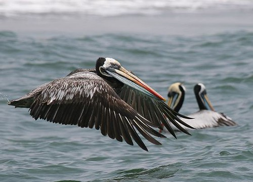 Peruvian pelican - Coastal marine birding in Peru with Nature Expeditions