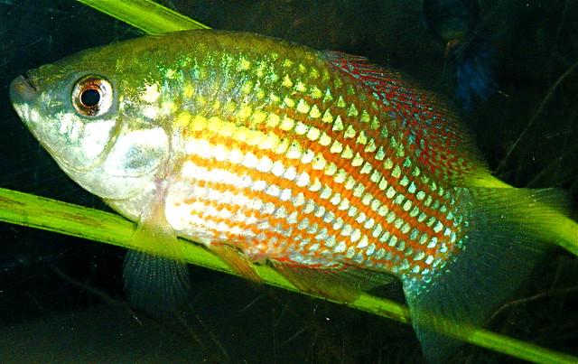 American Flagfish (Jordanella floridae)