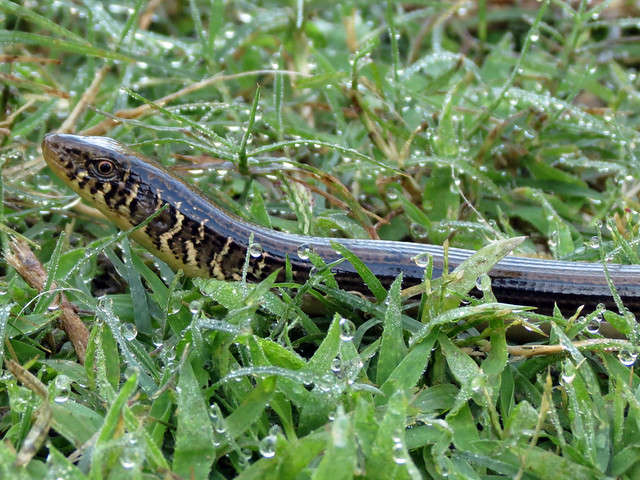 Eastern Glass Lizard 2/3