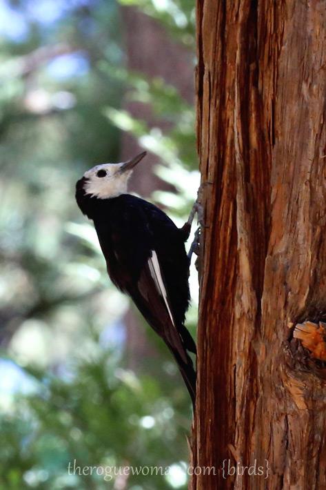 081412_03_bird_whiteHeadedWoodpecker