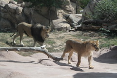 lions at the Predator Ridge habitat by f l a m i n g o