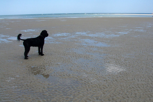 skippy portugese water dog P1010022
