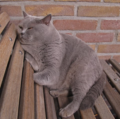 animal, british shorthair, small to medium-sized cats, pet, mammal, european shorthair, fauna, chartreux, cat, korat, whiskers, nebelung, russian blue, domestic short-haired cat,