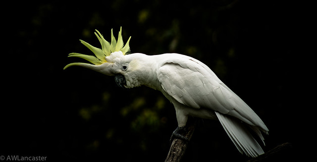 Sulfur Crested cockatoo #2