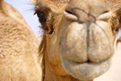 Camel, Dubai