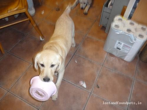 Fri, Sep 14th, 2012 Lost Female Dog - Beigh, Askeaton, Limerick
