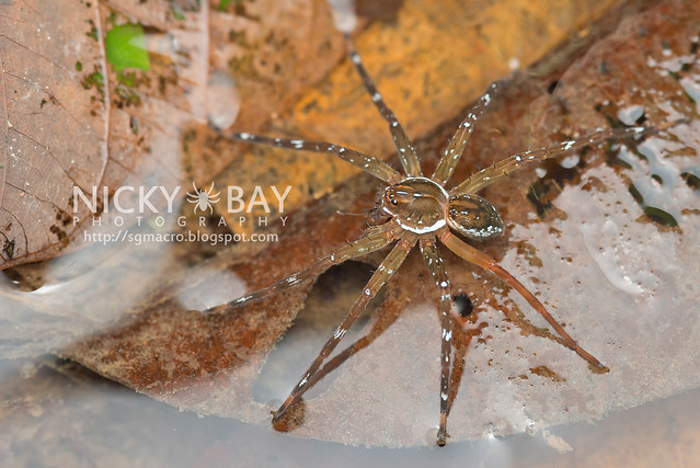 Fishing Spider (Dolomedes sp.) - DSC_2730