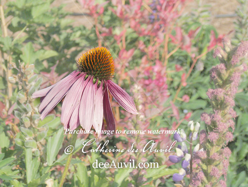Echinacea, or Purple Cone Flower by deeAuvil.com