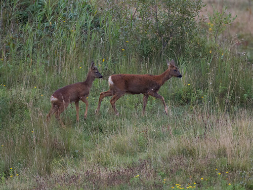 Roe deer-mating behaviour_1