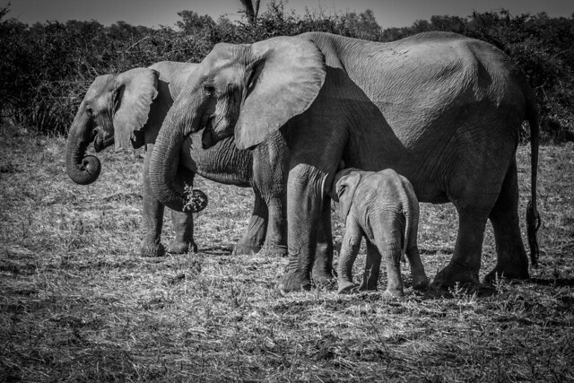 Elephant Herd - South Luangwa - Zambia