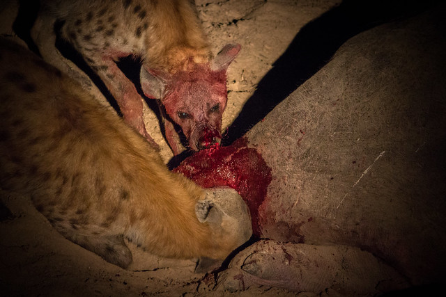 Hyena Feeding - South Luangwa