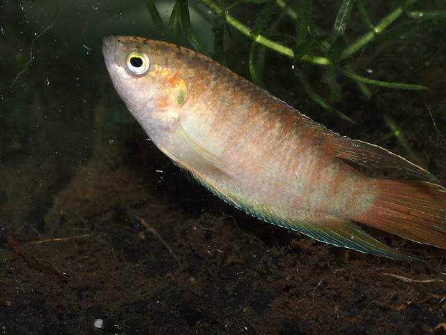 P9240178 蓋斑鬥魚