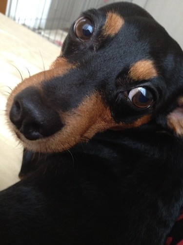 ハンバーガーのニオイにつられて体をピッタリ付ける黒犬