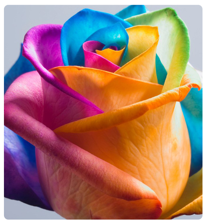 fiesta-roses-single2
