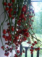 Tomates au séchage