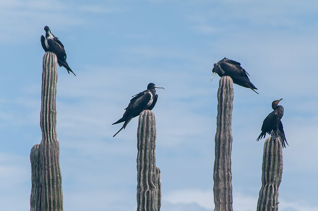 Frigate birds and cormorant