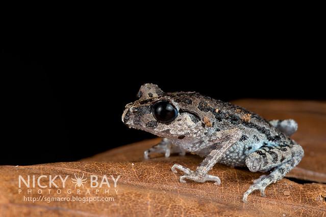 Black-eyed Litter Frog (Leptobrachium nigrops) - DSC_8580