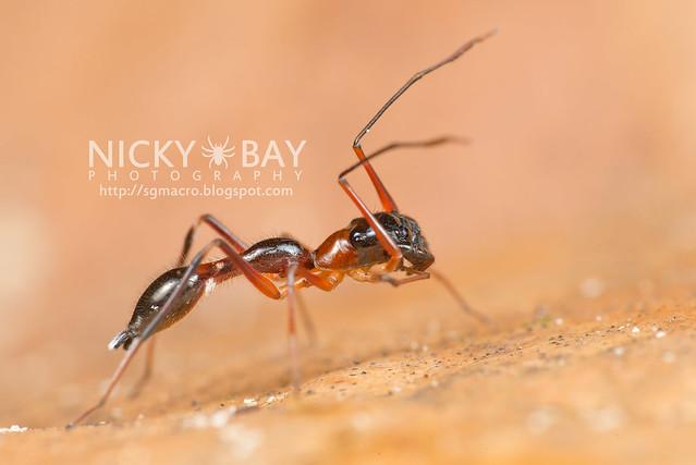 Kerrengga Ant-Like Jumper (Myrmarachne plataleoides) - DSC_8534