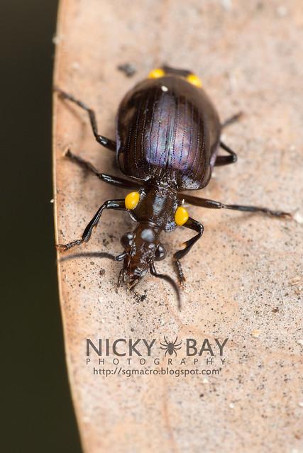 Ground Beetle (Carabidae) - DSC_8462
