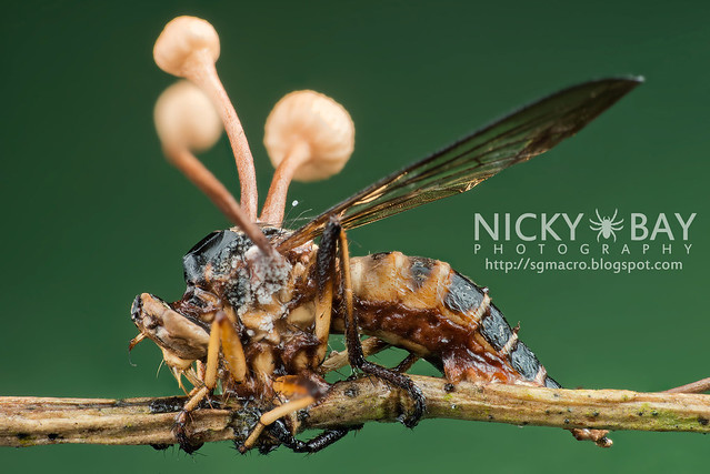 Robberfly infected by cordyceps (Asilidae) - DSC_7781