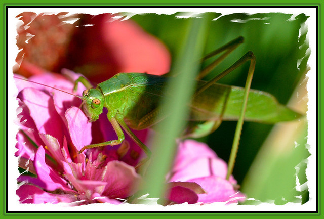 Hiding (katydid)