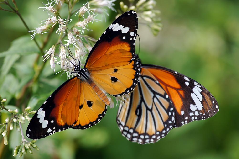 樺斑蝶、黑脈樺斑蝶-2