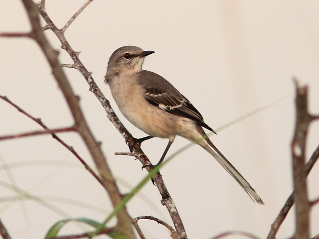 Northern Mockingbird 20121003