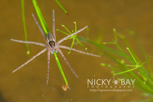 Fishing Spider (Dolomedes sp.) - DSC_6150