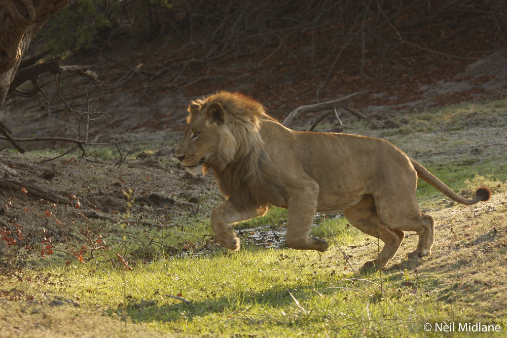 A sprightly lion mid-leap, Zambia
