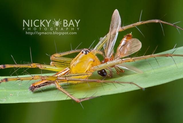 Lynx Spider (Oxyopidae) - i02765