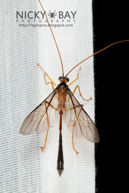 Ichneumon Wasp (Ichneumonidae) - DSC_6635