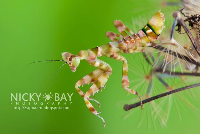 Flower Mantis (Creobotra sp.?) - DSC_5196
