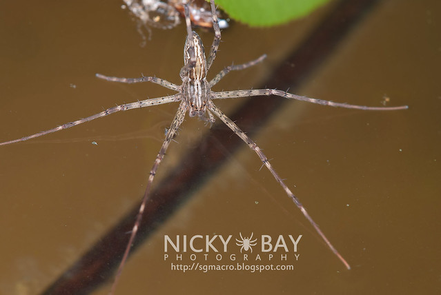 Fishing Spider (Hygropoda sp.) - DSC_3326