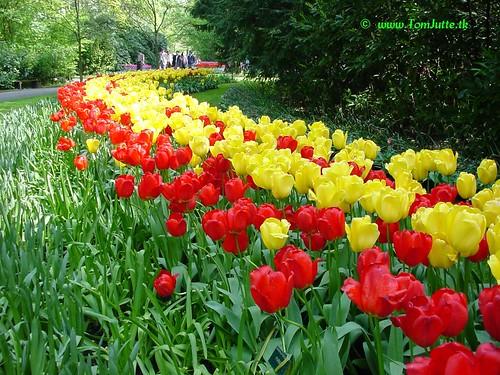Dutch Tulips, Keukenhof Gardens. Source: Flickr.com.