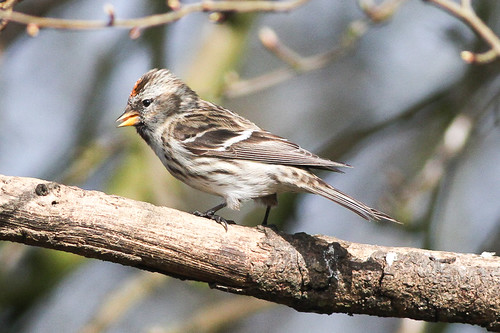 """Mealy Redpoll"" (Acanthis flammea)"