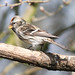 "Small photo of ""Mealy Redpoll"" (Acanthis flammea)"