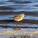 Small photo of Liitle Stint (Calidris minuta)