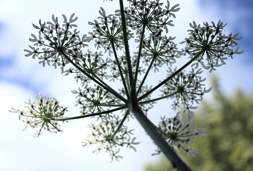 Umbelliferous flower by Helen in Wales