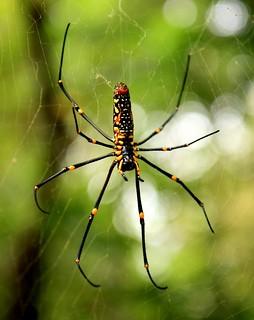 Lamma Island Hike - Giant Spider 2