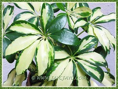 Schefflera arboricola 'Janine', new addition to our garden, August 23 2012