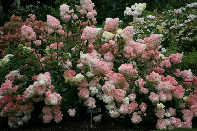 rhs garden wisley hydrangea paniculata vanille fraise 39 renhy 39 flickr photo sharing. Black Bedroom Furniture Sets. Home Design Ideas