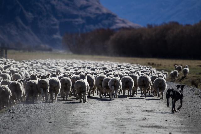 SheepDog_Treblecone_NZ_G.LHeureux-9540