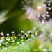 Tricomas violetas by tomasdb